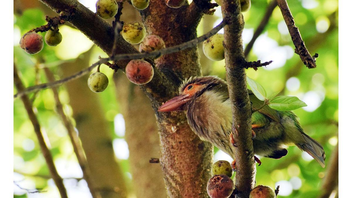 Blog : 'तांबट' पक्ष्याचे फराळ!