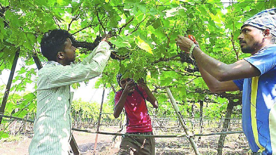 द्राक्ष निर्यातदारांना धास्ती नविन करोना विषाणूची
