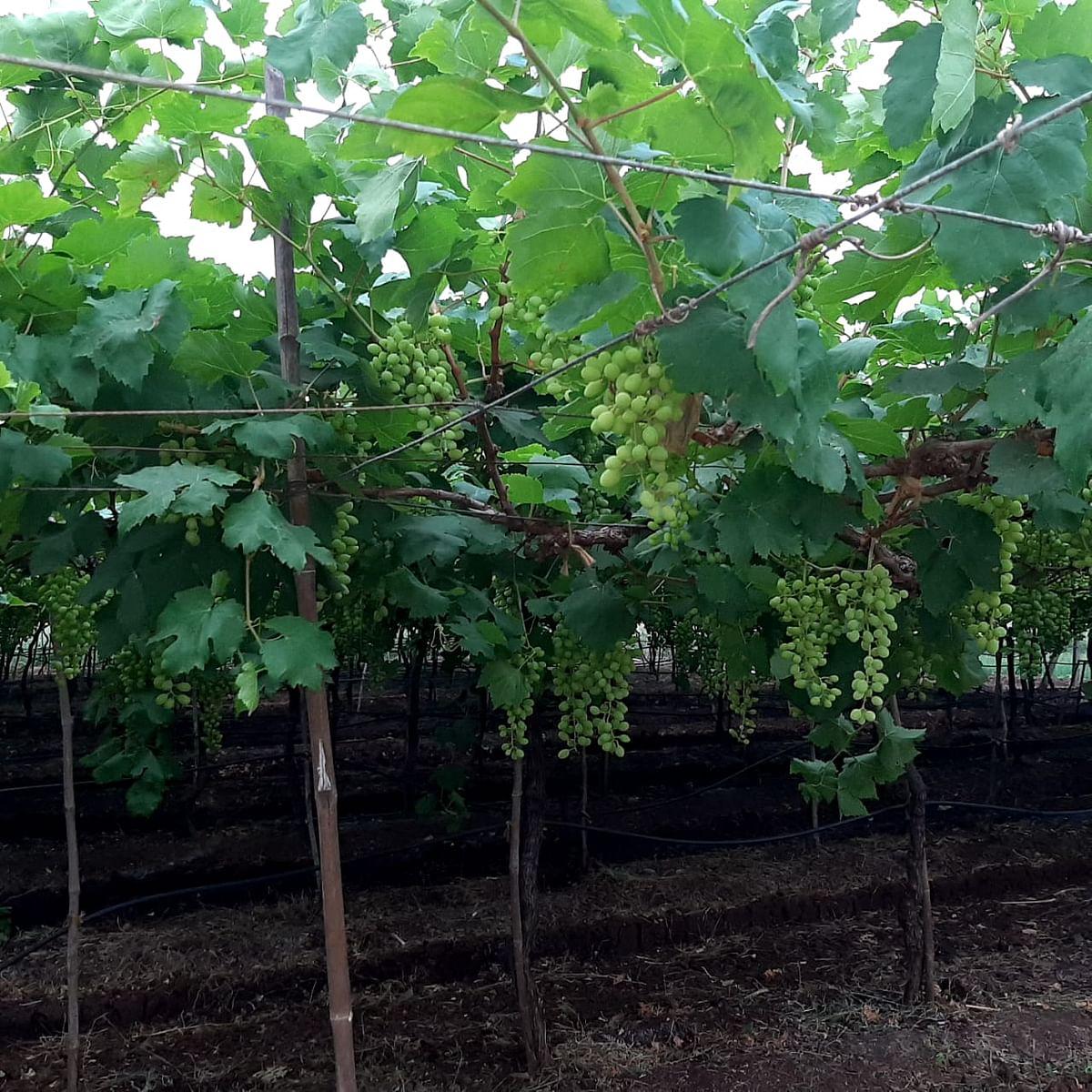 व्हिडीओ स्टोरी : द्राक्ष, डाळिंब, कांद्याला फटका