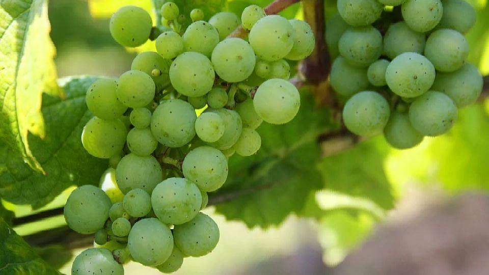 Grape growers suffer losses