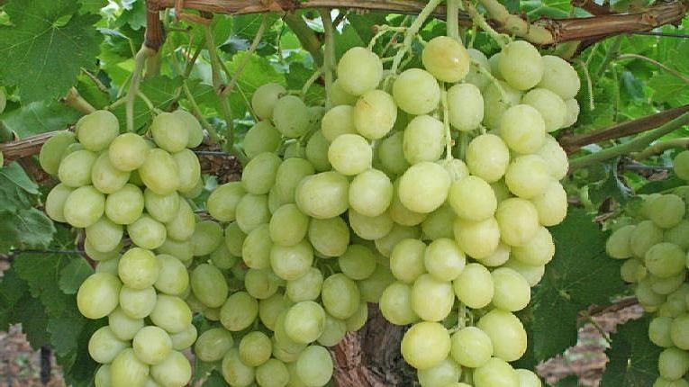 निर्यातीसाठी द्राक्षबागांच्या नोंदणी संख्येत वाढ