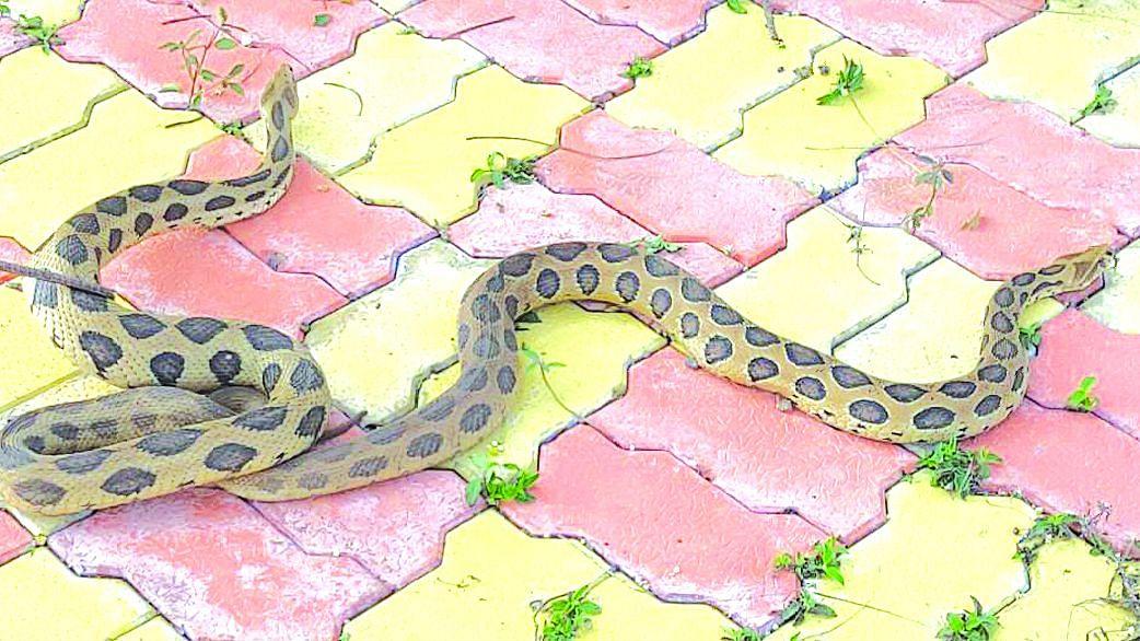 घोणस सापाच्या जोडप्याला जीवदान
