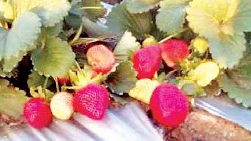 ग्रामीण भागात स्ट्रॉबेरीला वाढती मागणी