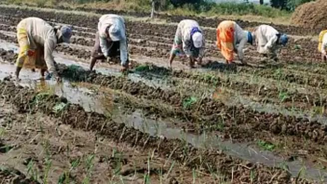 Eying fair price, farmers continue with onion cultivation