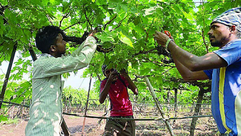द्राक्ष मशागतीला मजूर टंचाईचे ग्रहण