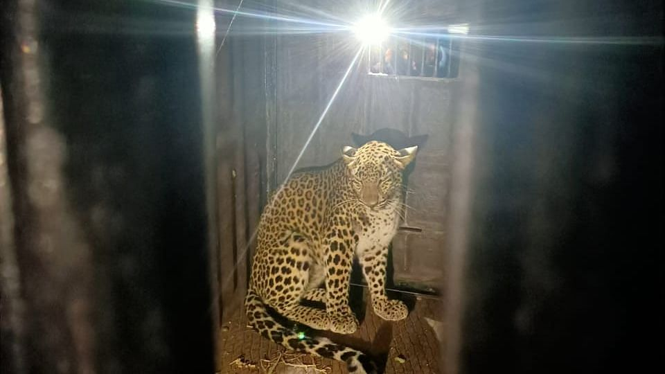 Leopard rescued after five hours' efforts