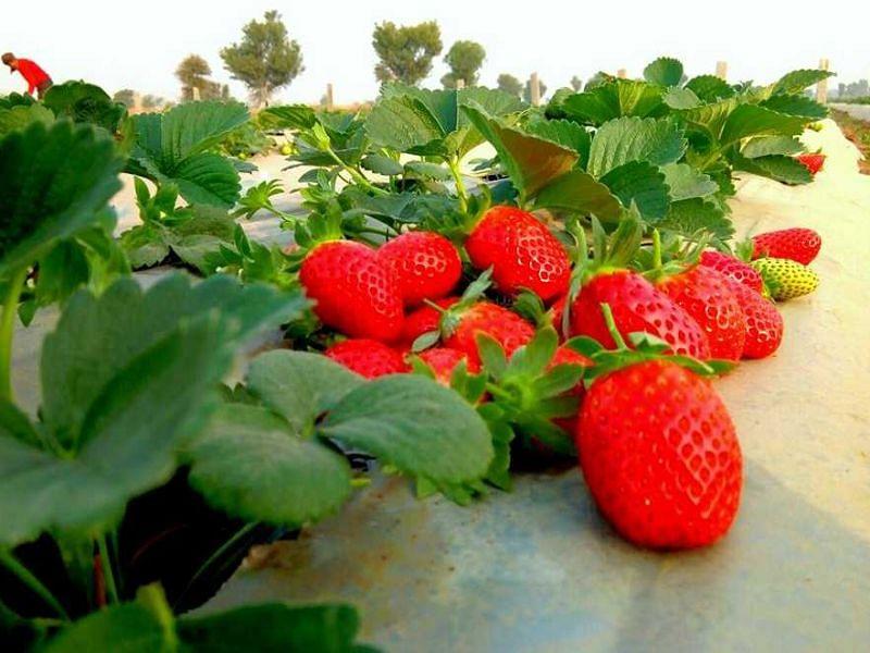 गावंधपाडा येथे पसरली स्ट्रॉबेरीची लाली..!