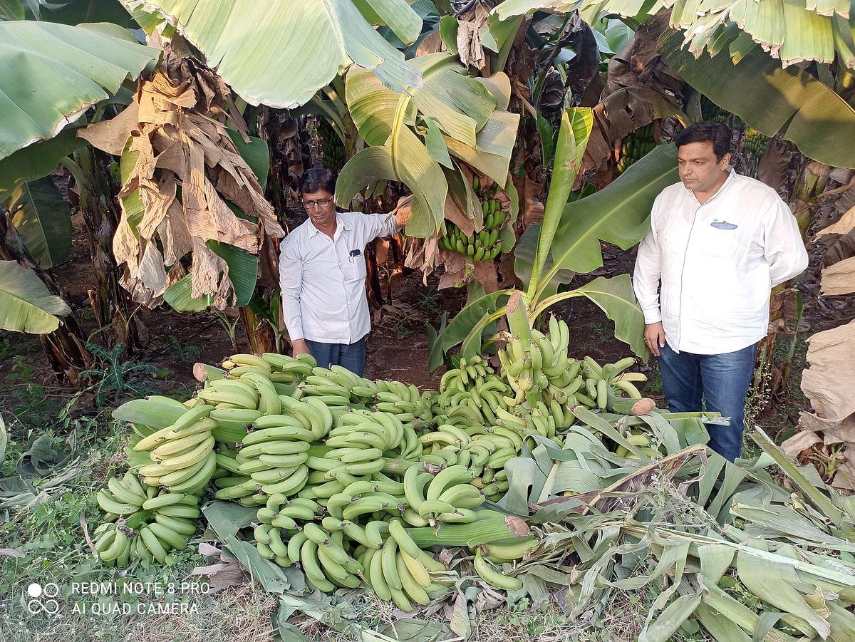 केळी बागांवर  संकट; झाडांवर पिकत आहे केळी