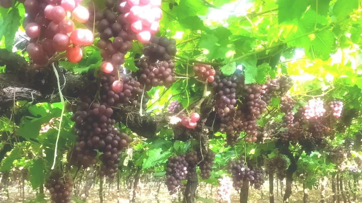 अवकाळी पावसाचा फटका; दिंडोरी तालुक्यात द्राक्षबागांचे करोडो रुपयांचे नुकसान