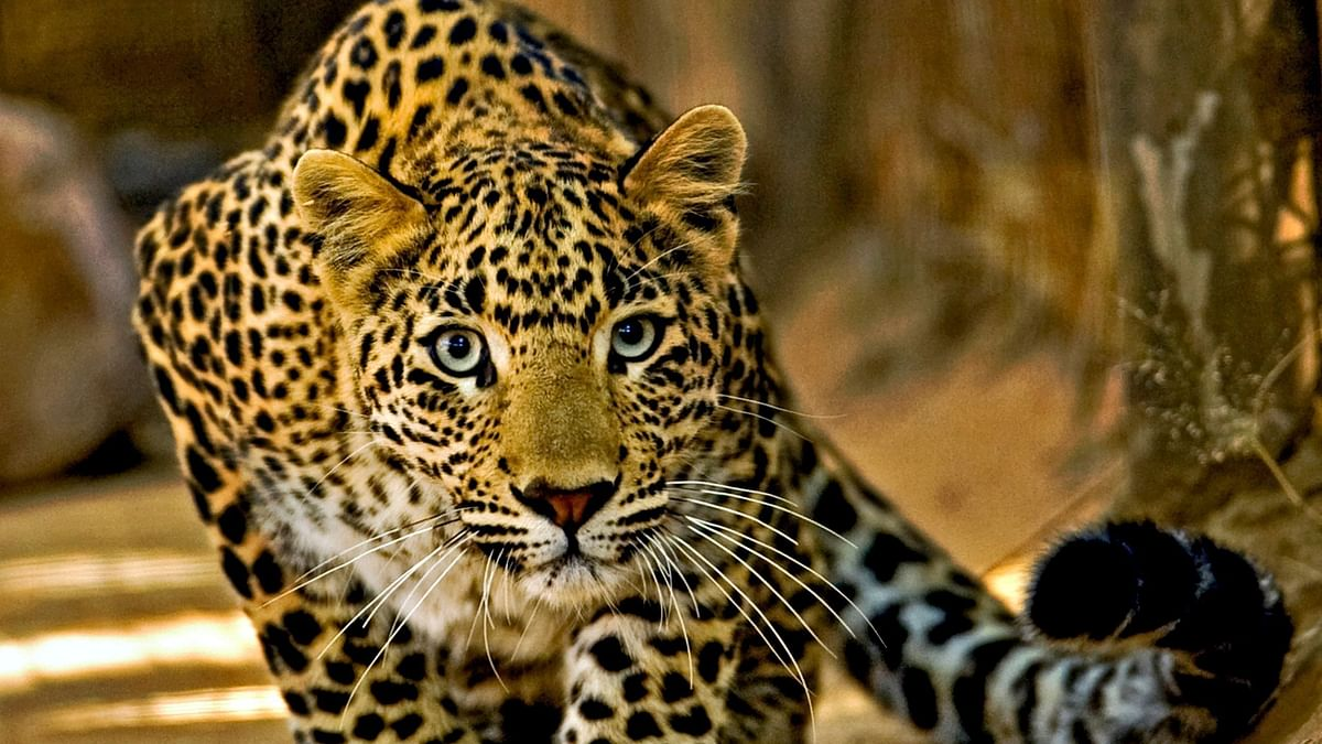 Leopard takes shelter in a hut