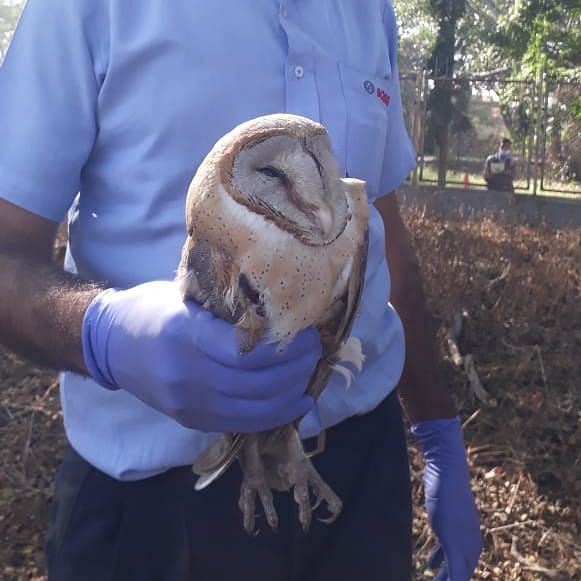 Owl rescued