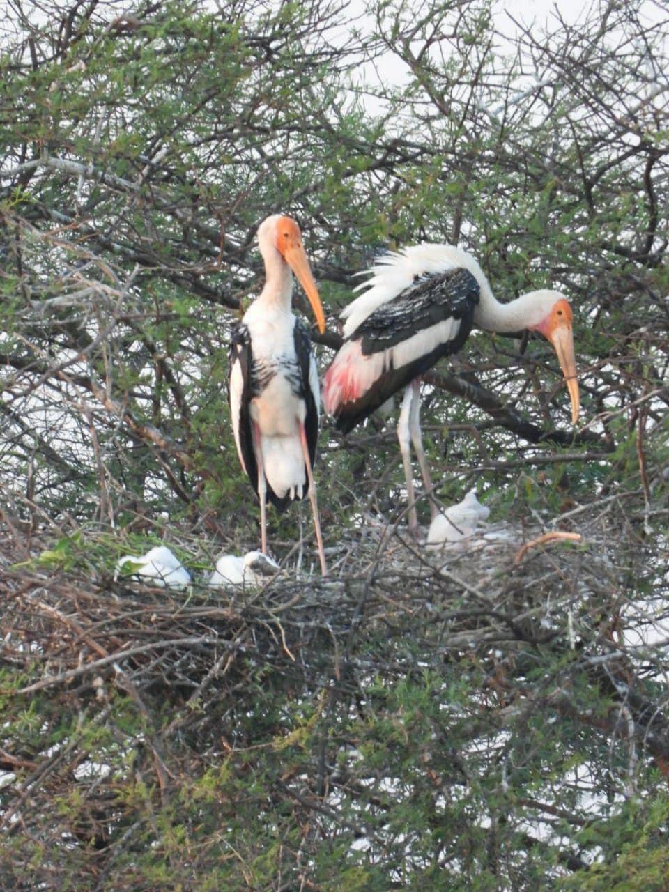 Nandurmadhyameshwar: Painted Stork forming nesting colonies