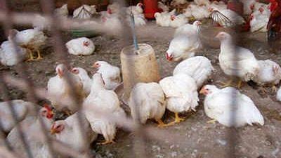Video पोल्ट्री फार्ममधील कोंबड्या नष्ट करण्याचे कार्य सुरू