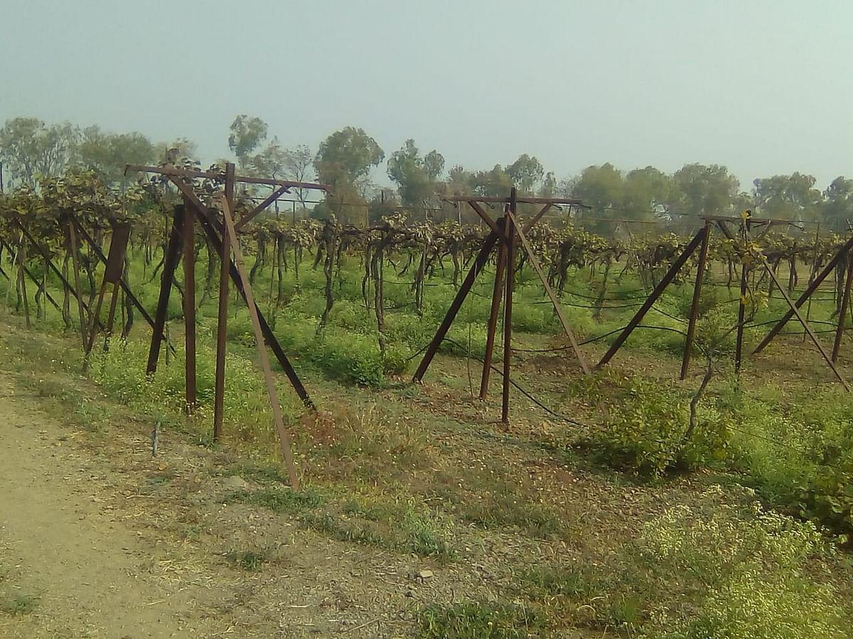 राहुरी विद्यापीठाच्या द्राक्ष बागेतील झाडे मृत आढळली