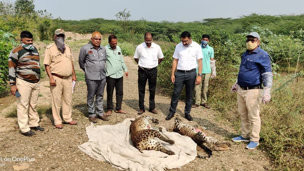 Pair of leopards die after getting stuck in marsh