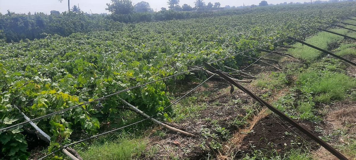 विंचूरला अवकाळीने गहु आणि द्राक्षबागाचे नुकसान
