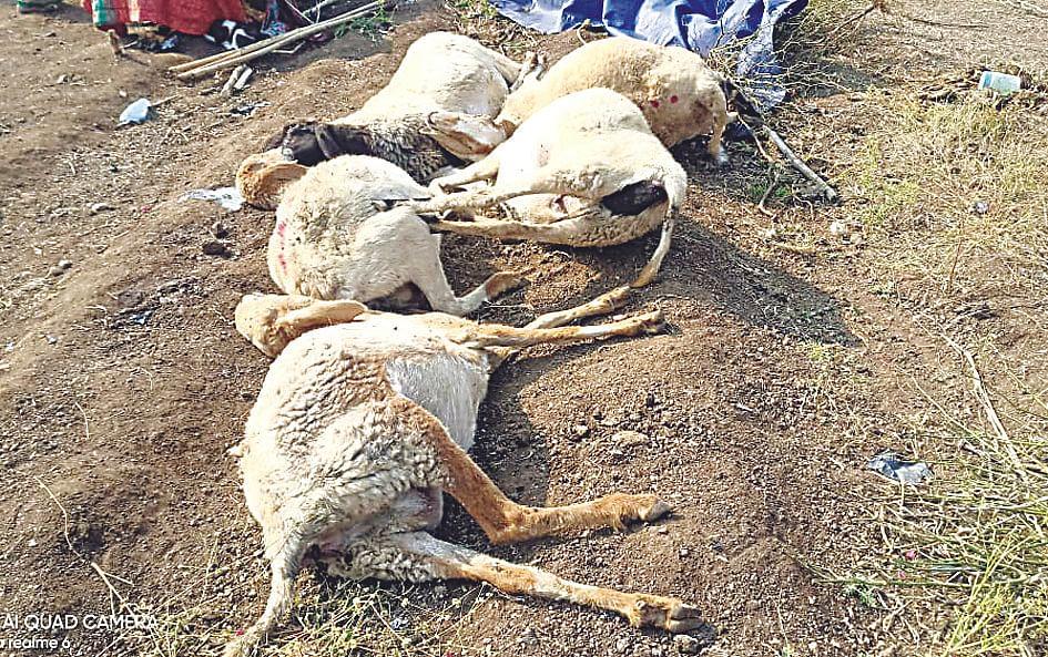 विषारी पाणी पिल्याने नऊ मेंढ्यांचा मृत्यू; 32 अत्यवस्थ
