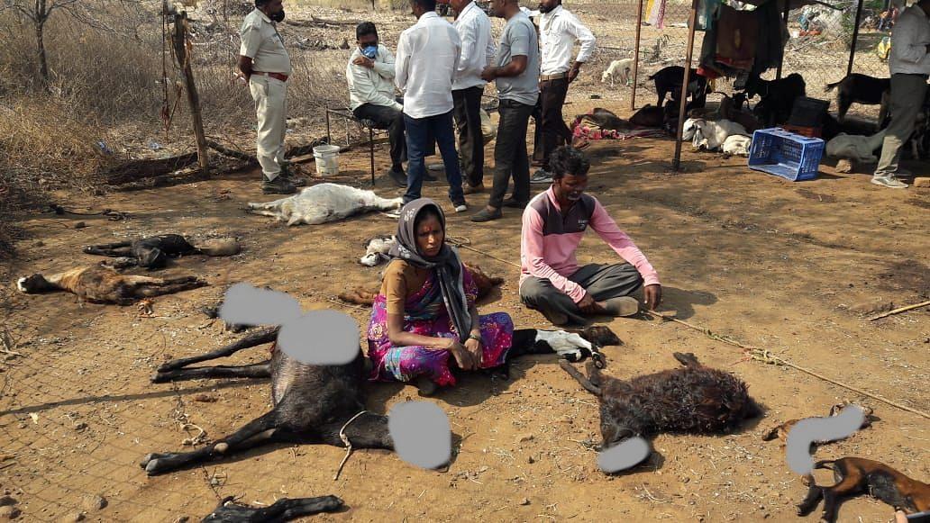 वन्यप्राण्यांच्या हल्ल्यात चौदा शेळ्यांचा मृत्यू; नऊ शेळ्या जखमी