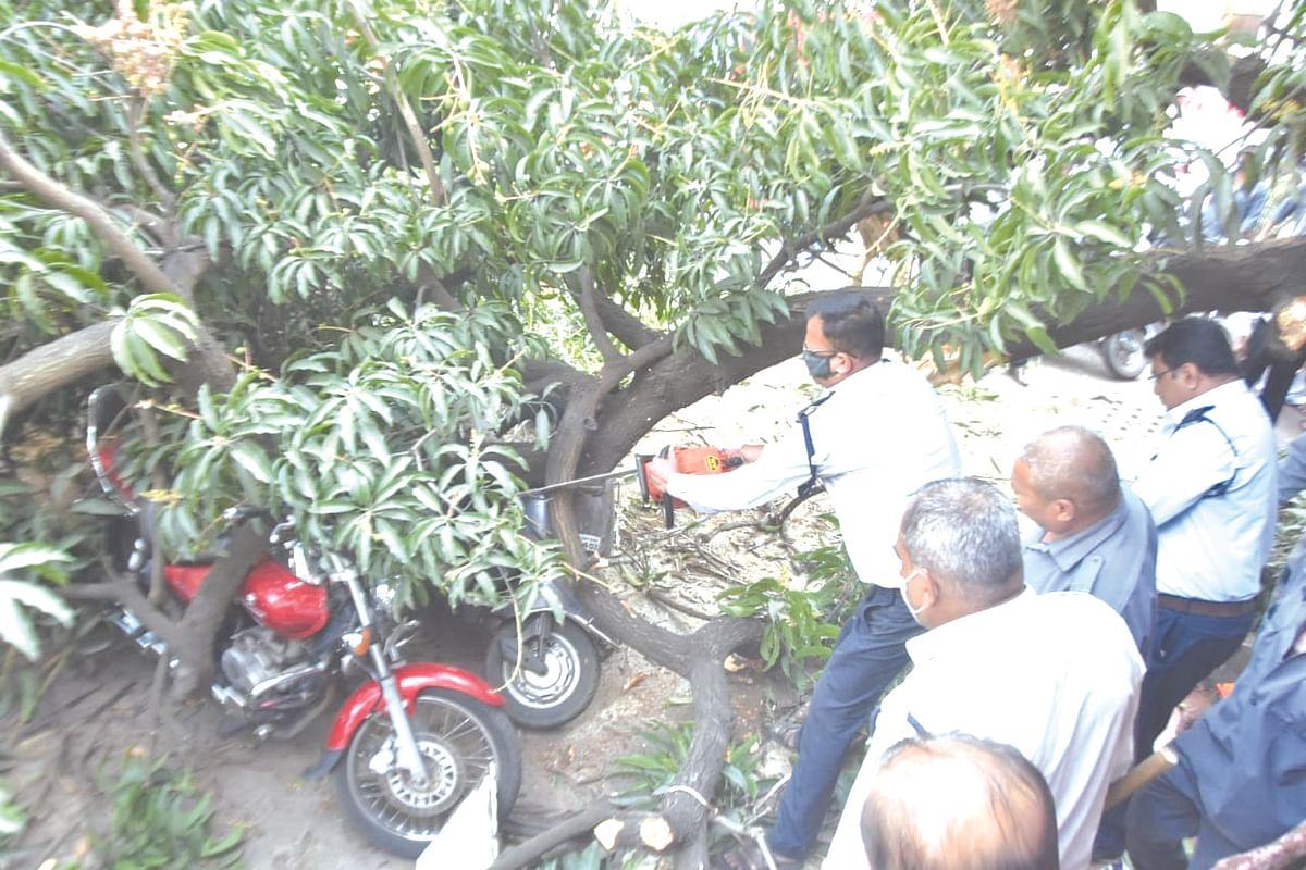 Mango tree collapses in Vakilwadi