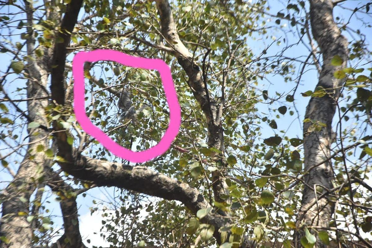 Video : झाडावर अडकलेल्या पाहुण्या पक्ष्याला दिले जीवदान
