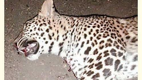 Leopard killed
