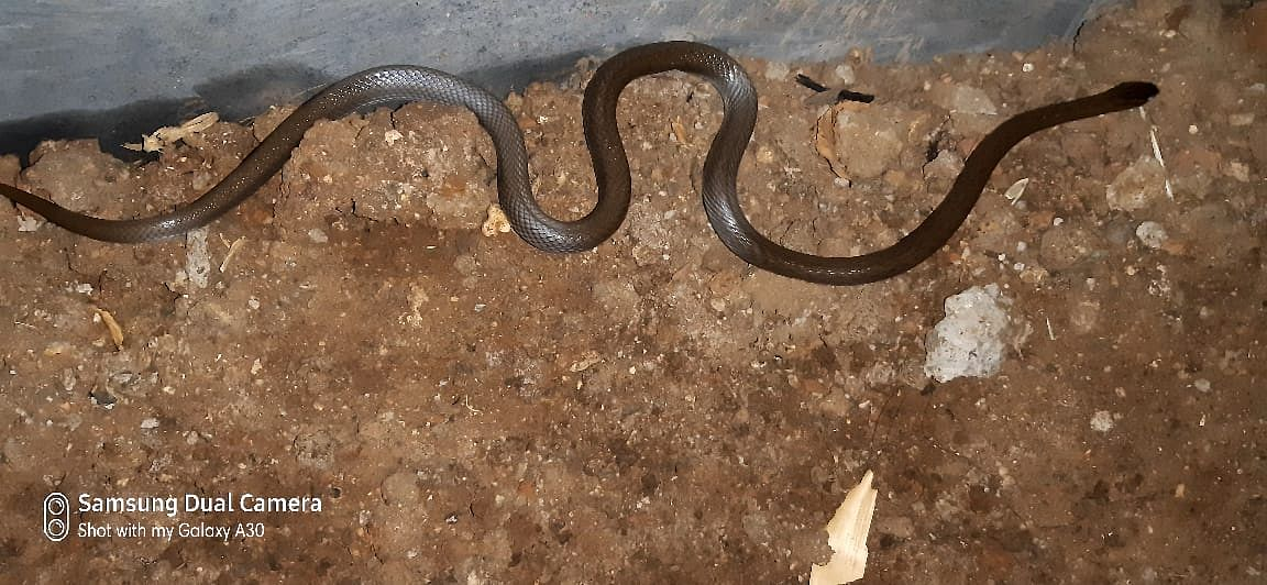 लासलगावी आढळला दुर्मिळ 'गजरा' साप