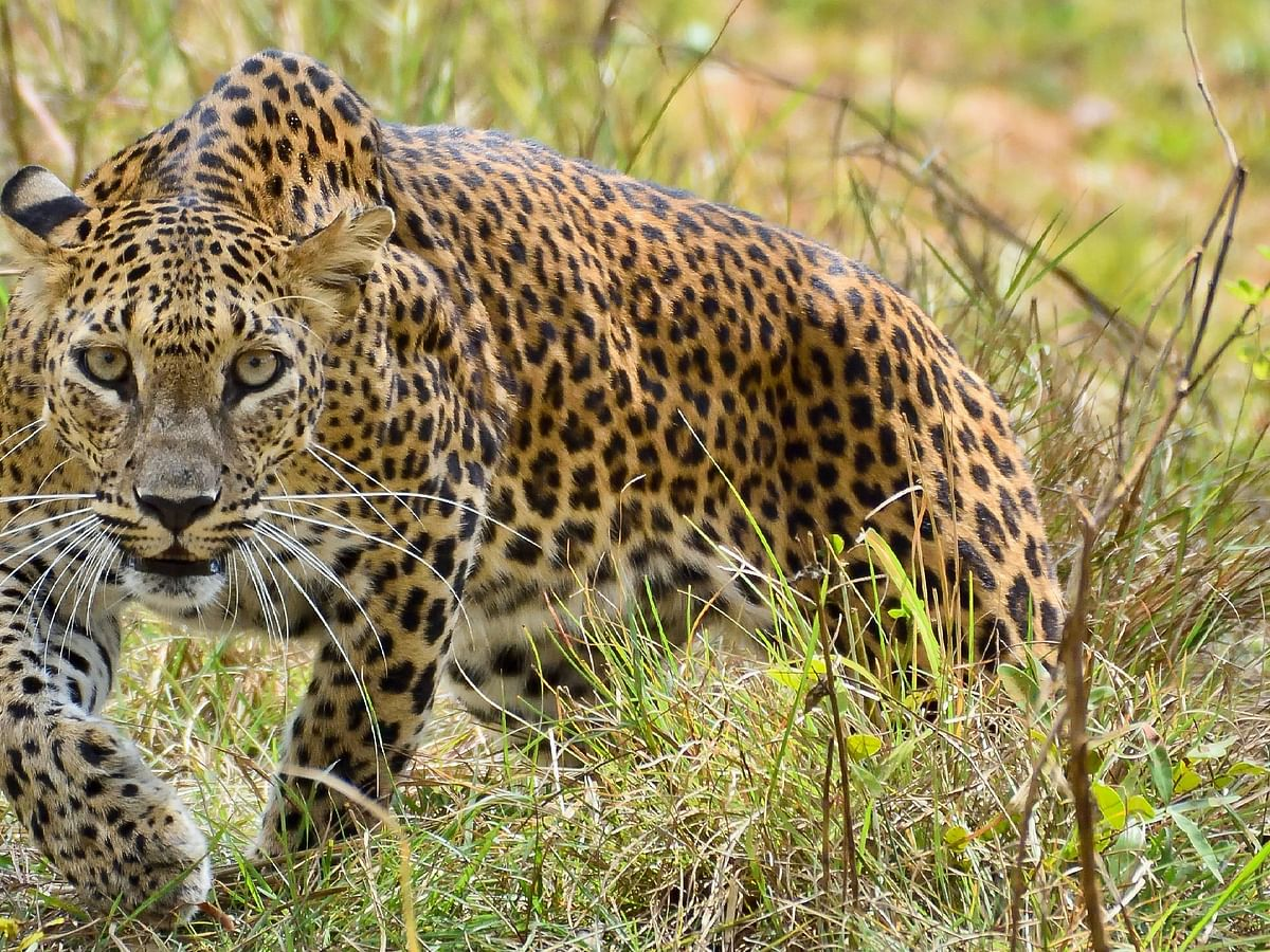 Cooperation will stop the human-leopard conflict