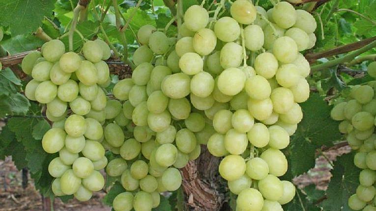द्राक्ष निर्यातीने शेतकऱ्यांंना दिलासा