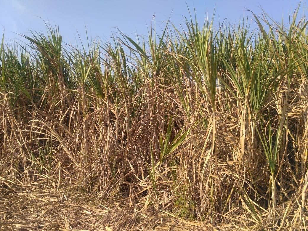 कारखान्यांनी ऊस नेण्यास सुरुवात केल्याने शेतकर्यांना दिलासा