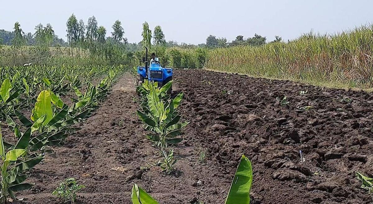 व्हायरस आल्याने केळी रोपांवर शेतकर्यांनी फिरविला नांगर