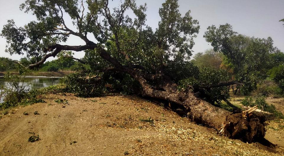 ब्रिटिशांनी लावलेली आंब्याची झाडे नामशेष होण्याच्या मार्गावर