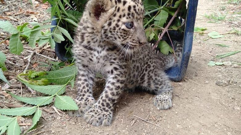 Leopard cub battling for life
