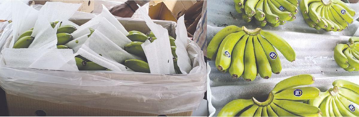 नेवाशाची केळी आखाती देशांच्या बाजारपेठेत