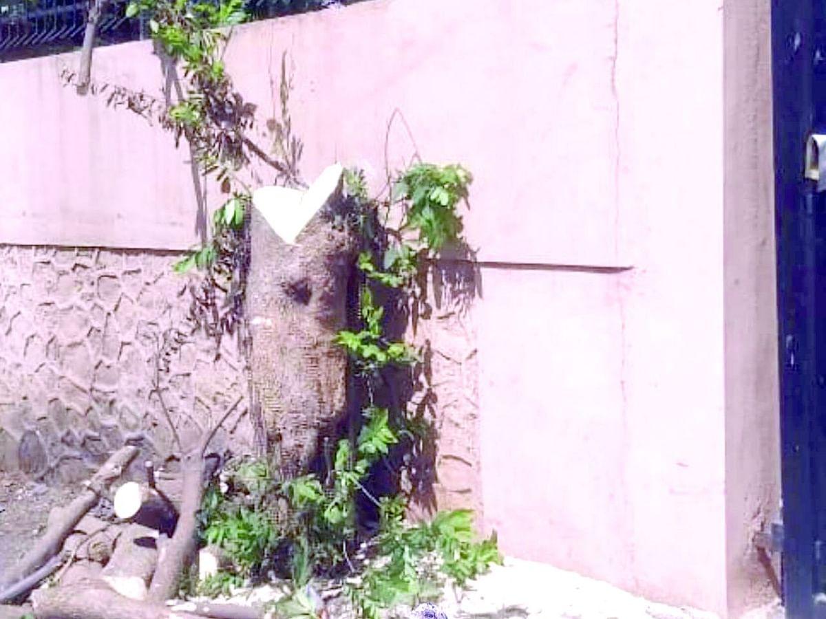 गणेशनगरात डेरेदार वृक्षांची कत्तल