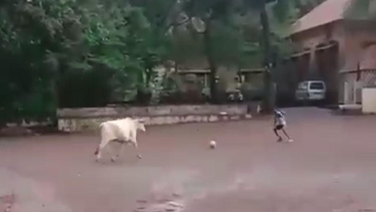 Viral Video : फुटबॉल खेळणारी गाय कधी पहिली आहे का?
