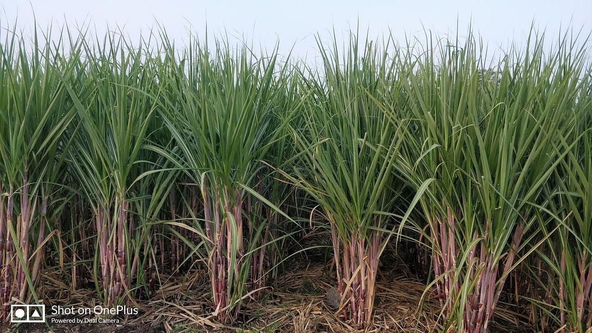 राहुरी तालुक्यातील साखर पट्ट्यात ऊसशेतीचा पारंपरिक पॅटर्न बदलला