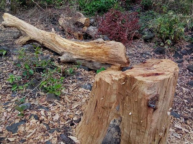 साल्हेर किल्ला परिसरात अवैध वृक्षतोड