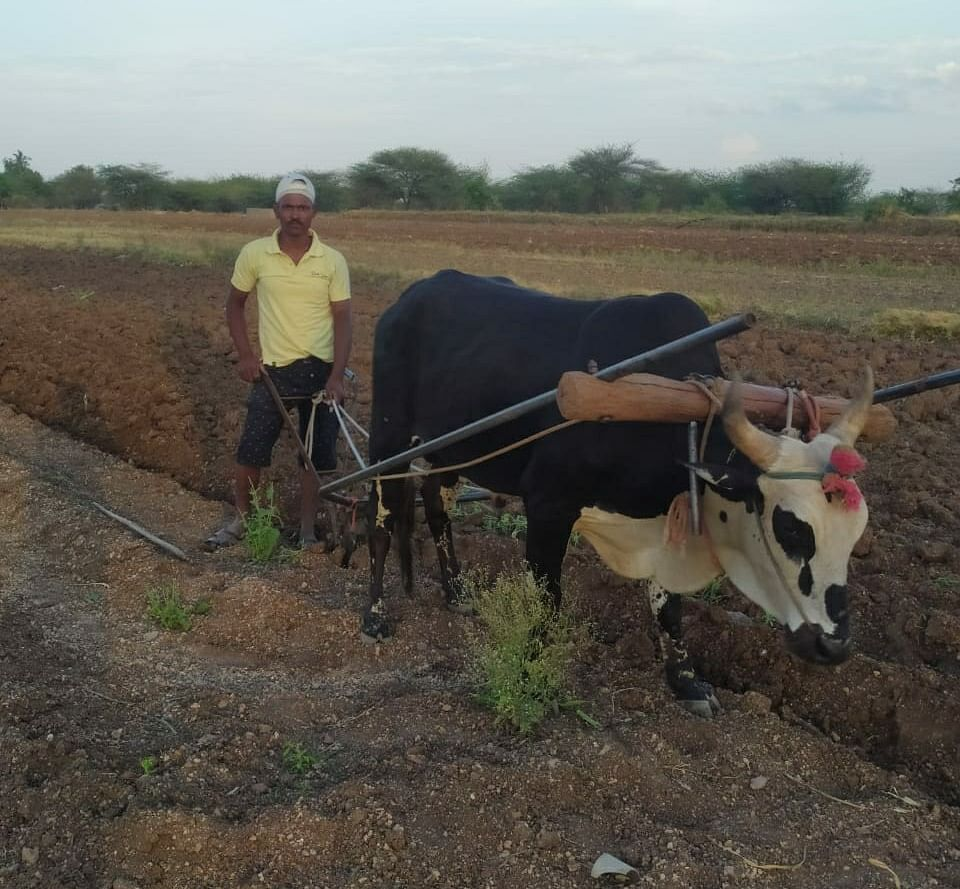 एका बैलाच्या साह्याने चार एकर शेतीची संपूर्ण मशागत