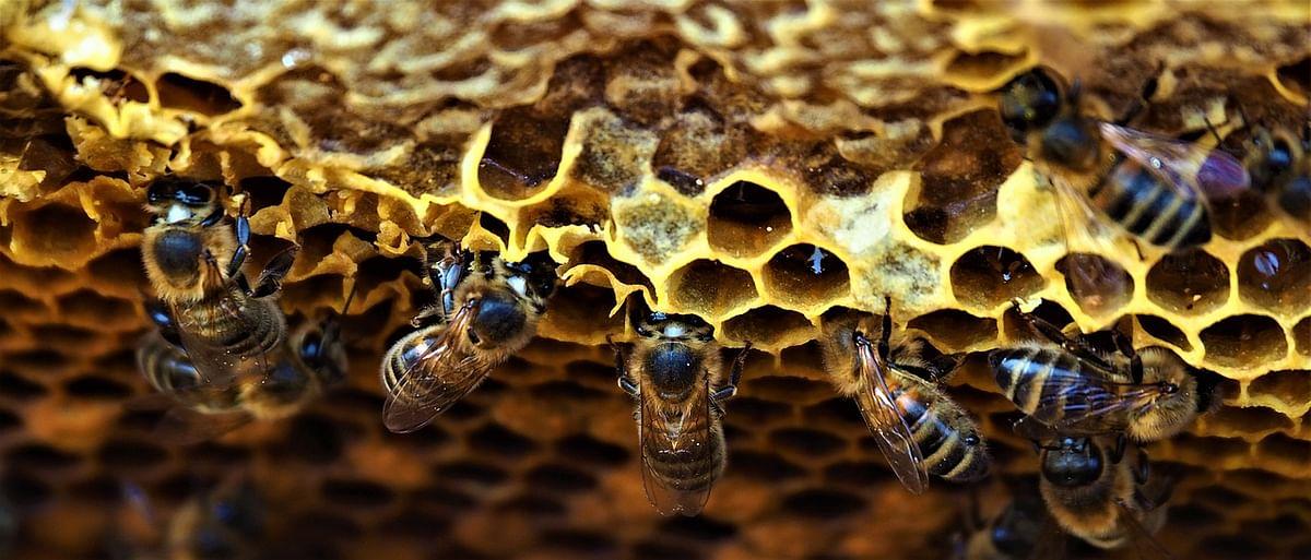 मधुमक्षिका पालनाला चालना मिळणार; वन विभाग करणार प्रयत्न