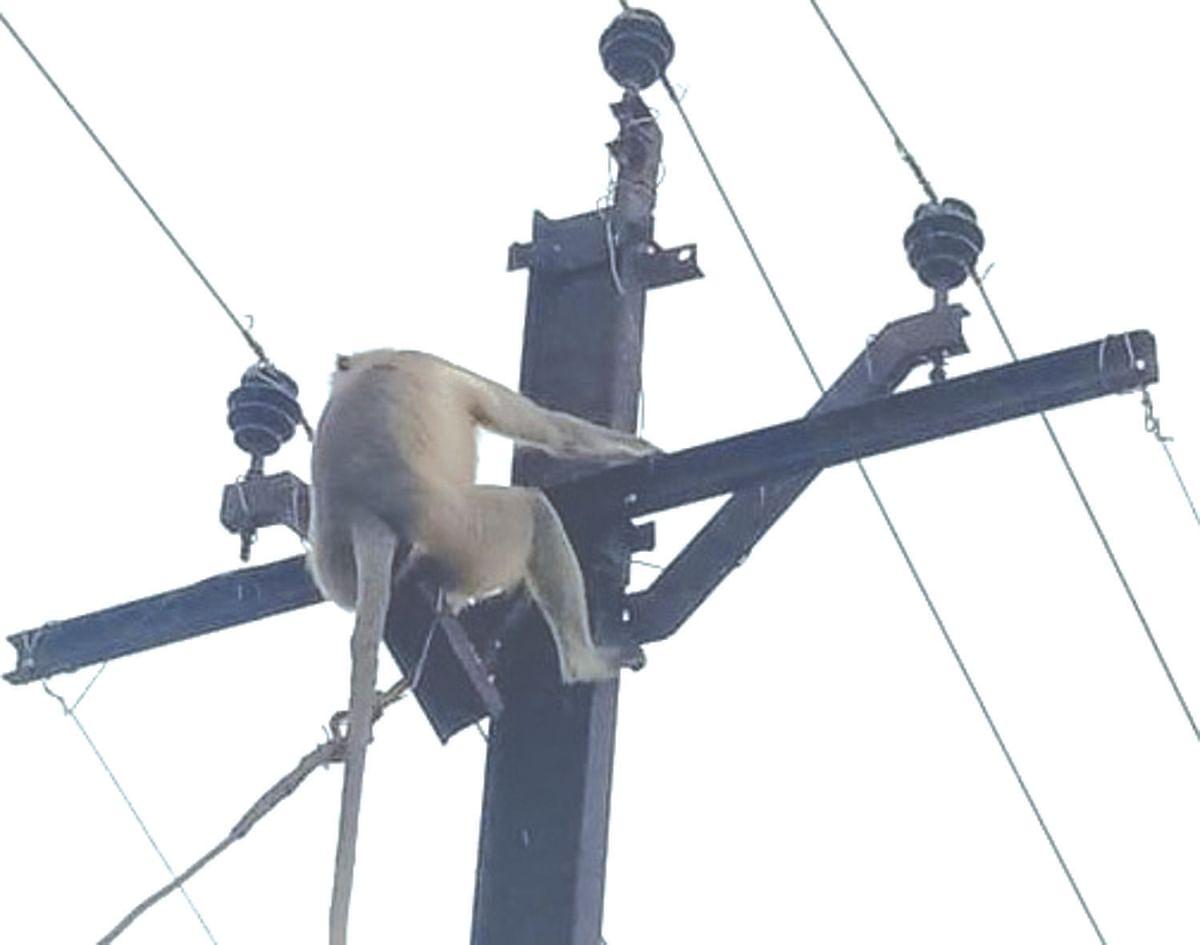 मोकाट कुत्र्यांना घाबरुन वानर चढले विद्युत वाहिनीवर