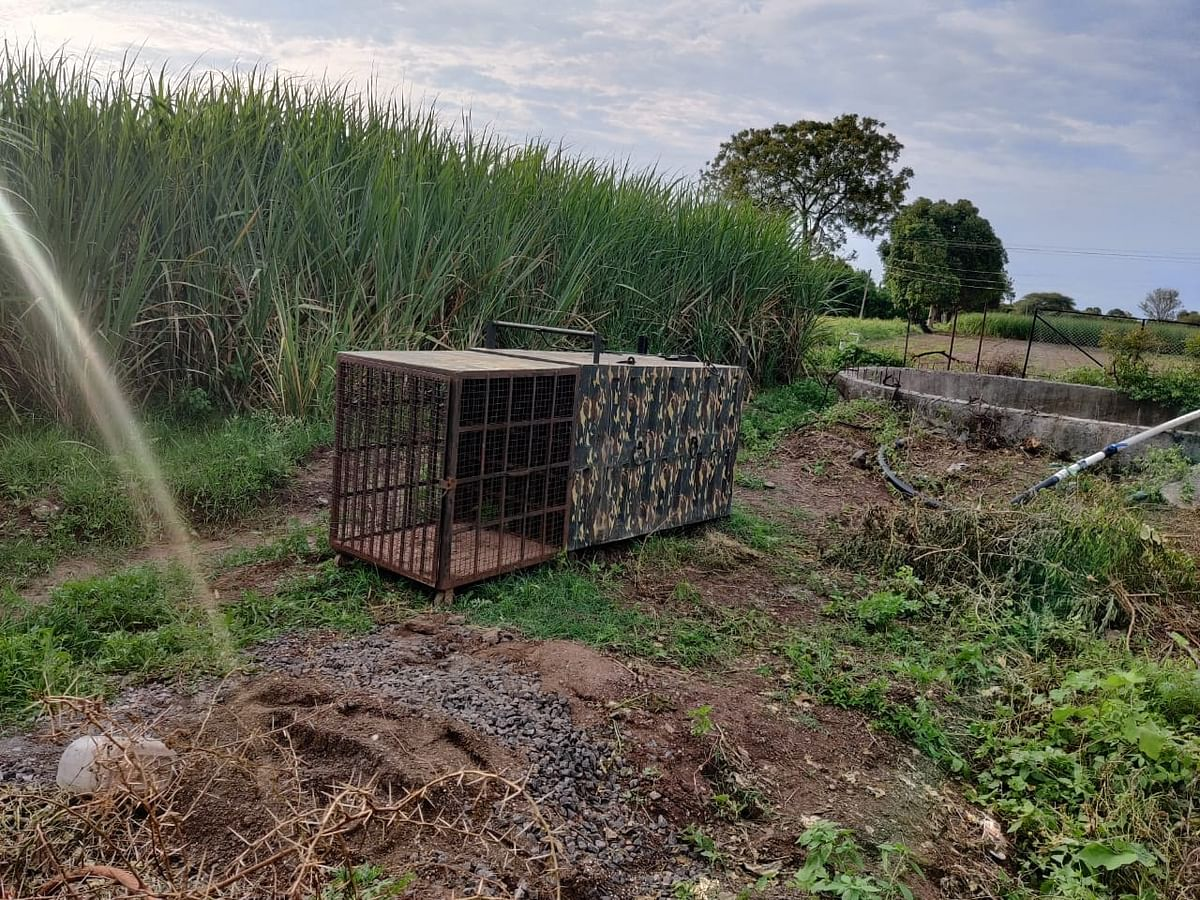 बिबट्याला पकडण्यासाठी यादववस्ती परिसरात वन विभागाकडून बसविला पिंजरा