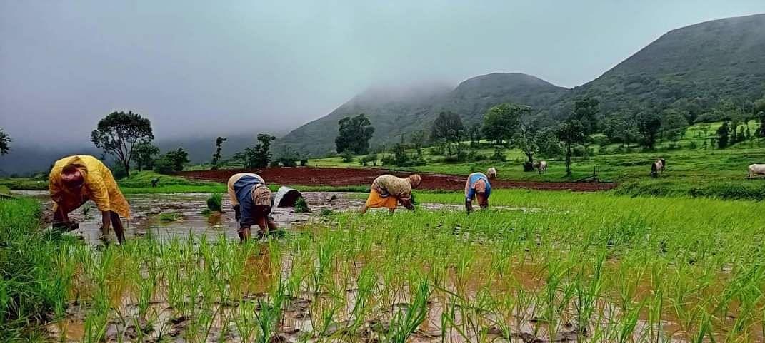 त्र्यंबक परिसरात पावसाचा जोर ओसरला, भात लावणीला वेग