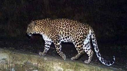 Three goats killed in a leopard attack