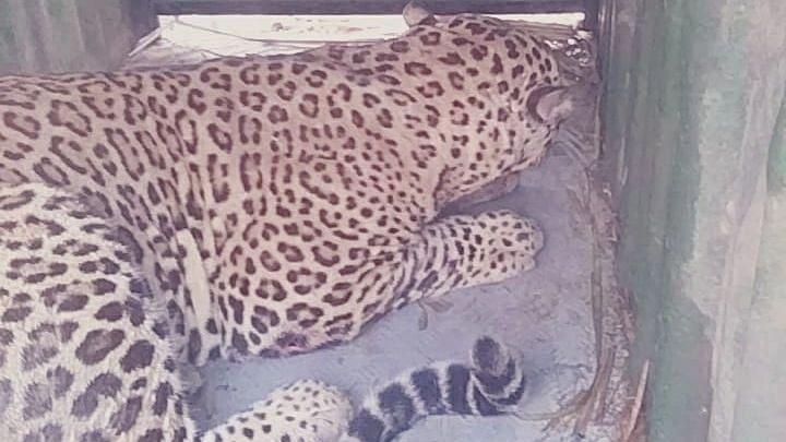 Leopard trapped in Bhuse shivar