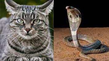 क्रोबा अन् मांजरीच्या लढाईचा थरार