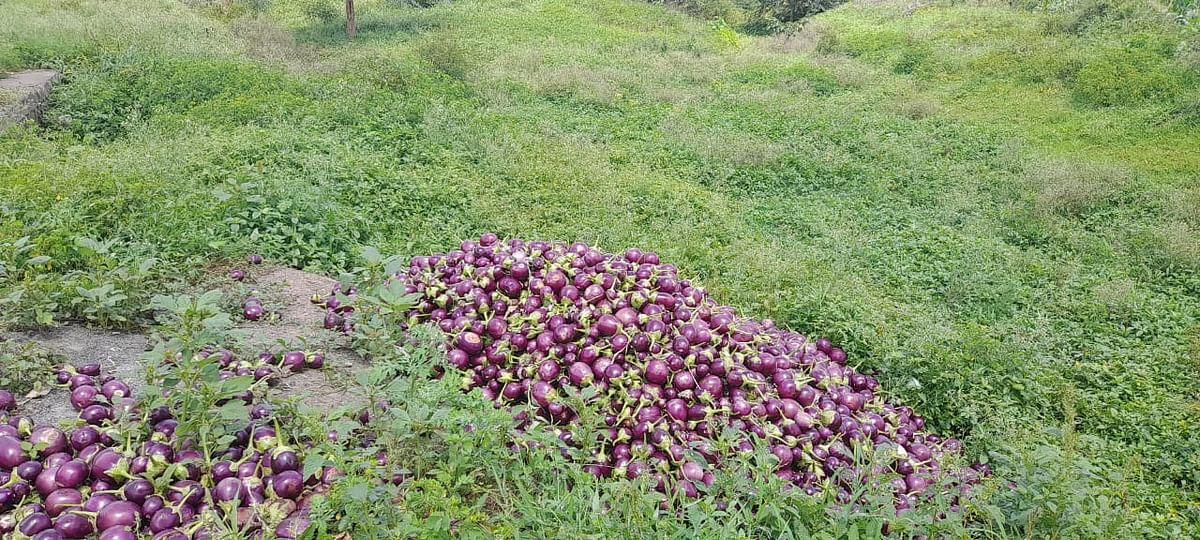टोमॅटोपाठोपाठ वांगेही फेकण्याची शेतकऱ्यांवर वेळ