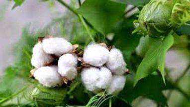कापूस उत्पादक शेतकऱ्यांना कृषि विभागाने दिला हा सल्ला