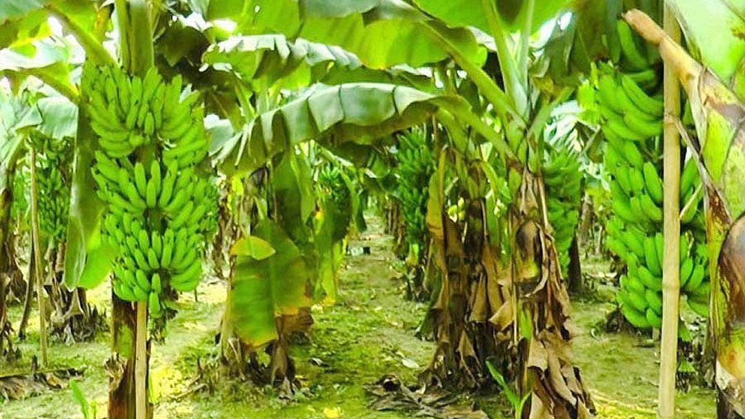 जळगाव तालुक्यातील केळी उत्पादक १५ शेतकर्यांची ३५ लाखांत फसवणूक