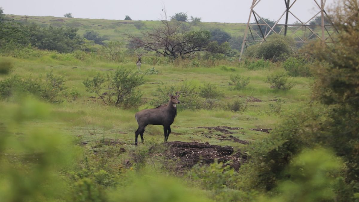 Nilgai sighted at Mhamdapur conservation reserve