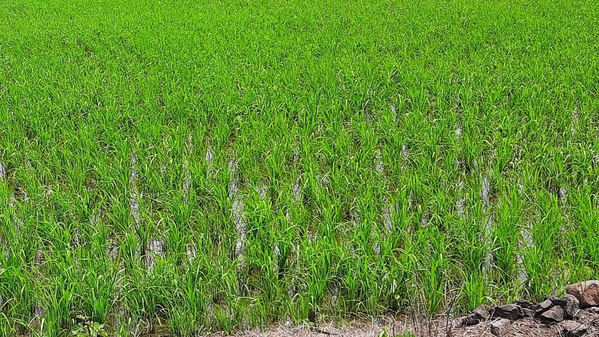 पावसाअभावी भात पीक धोक्यात; बळीराजा चिंताग्रस्त